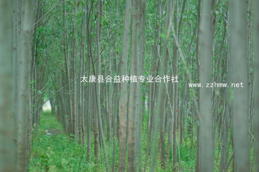 竹柳专业种植 量大从优