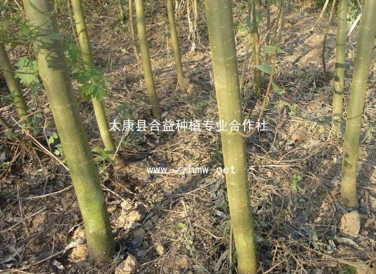 竹柳4-13公分竹柳,20余万株