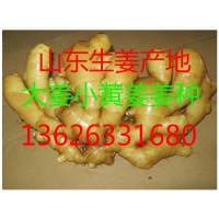 山东生姜基地面姜小黄姜产地批发价格新姜上市价格