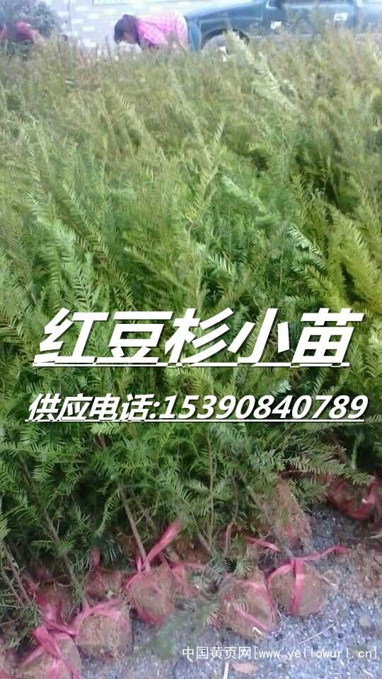 红豆杉小苗4_副本
