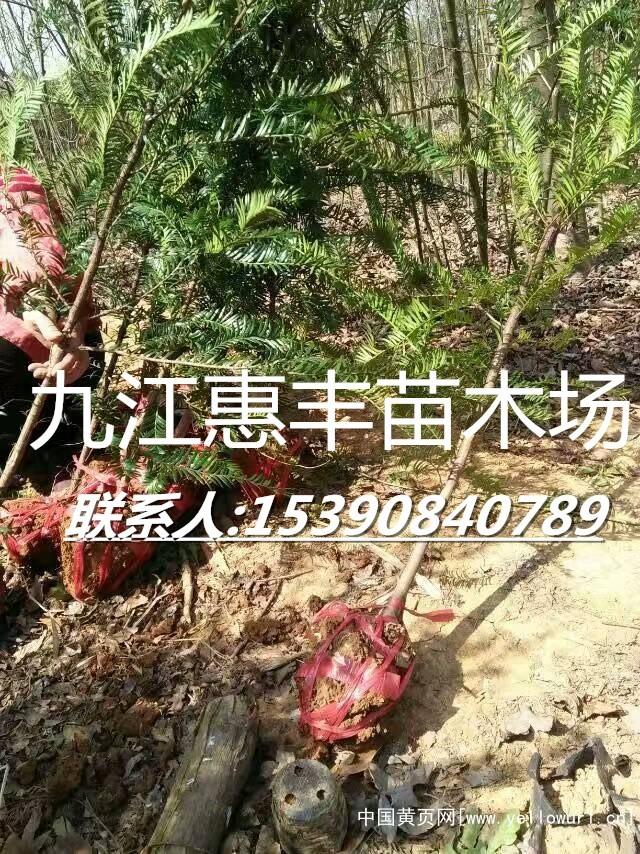 红豆杉88_副本