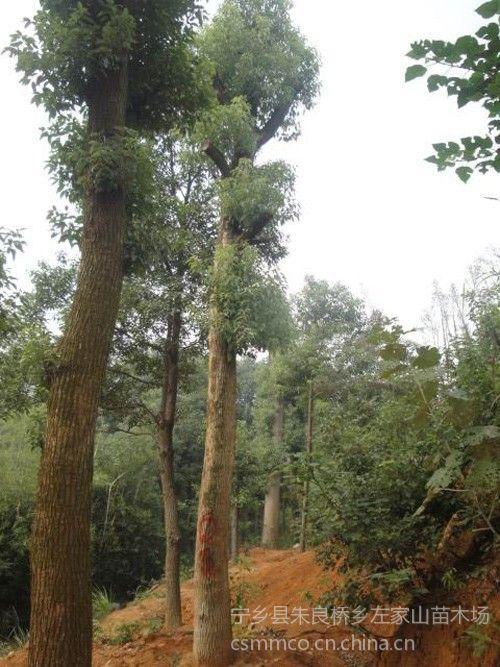 供应湖南造型香樟批发,左家山湖南香樟著名苗木场