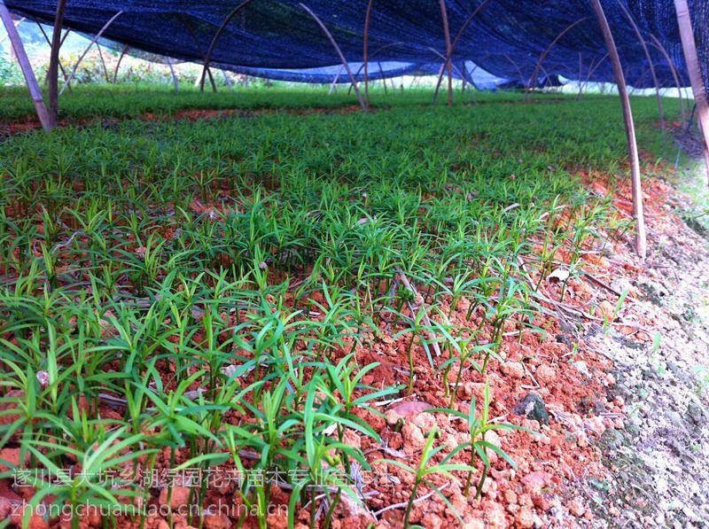供应优质红豆杉,红豆杉芽苗批发价格
