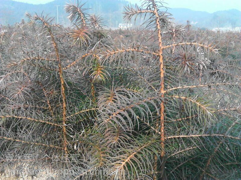 湖南杉苗基地富恒苗木有限公司优质杉树苗大苗供应