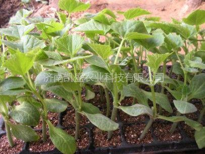 供应培育供应黄瓜苗、西瓜苗、甜瓜苗、番茄苗等