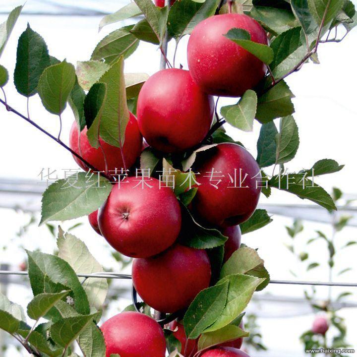 供应青岛红色苹果|红瓤苹果|红苹果苗木|秋若梨