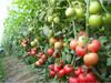 荷蘭番茄種子硬粉王冠-高硬度番茄種子