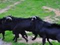 广辟饲料来源,才能养好黑山羊