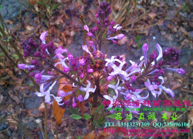 供应纯正苗圃丛生紫丁香苗