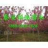 3公樱花树,3公分樱花树价格,3公分樱花树苗,3公分樱花苗