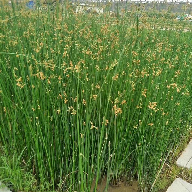 苗圃批发水葱苗水生花卉植物水葱水培园林绿化苗木葱蒲冲天草