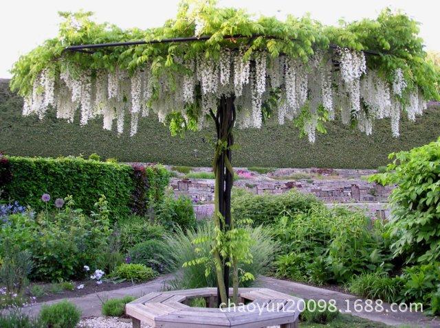 多花紫藤長穗白藤Wisteriafloribunda'LongissimaAlba'