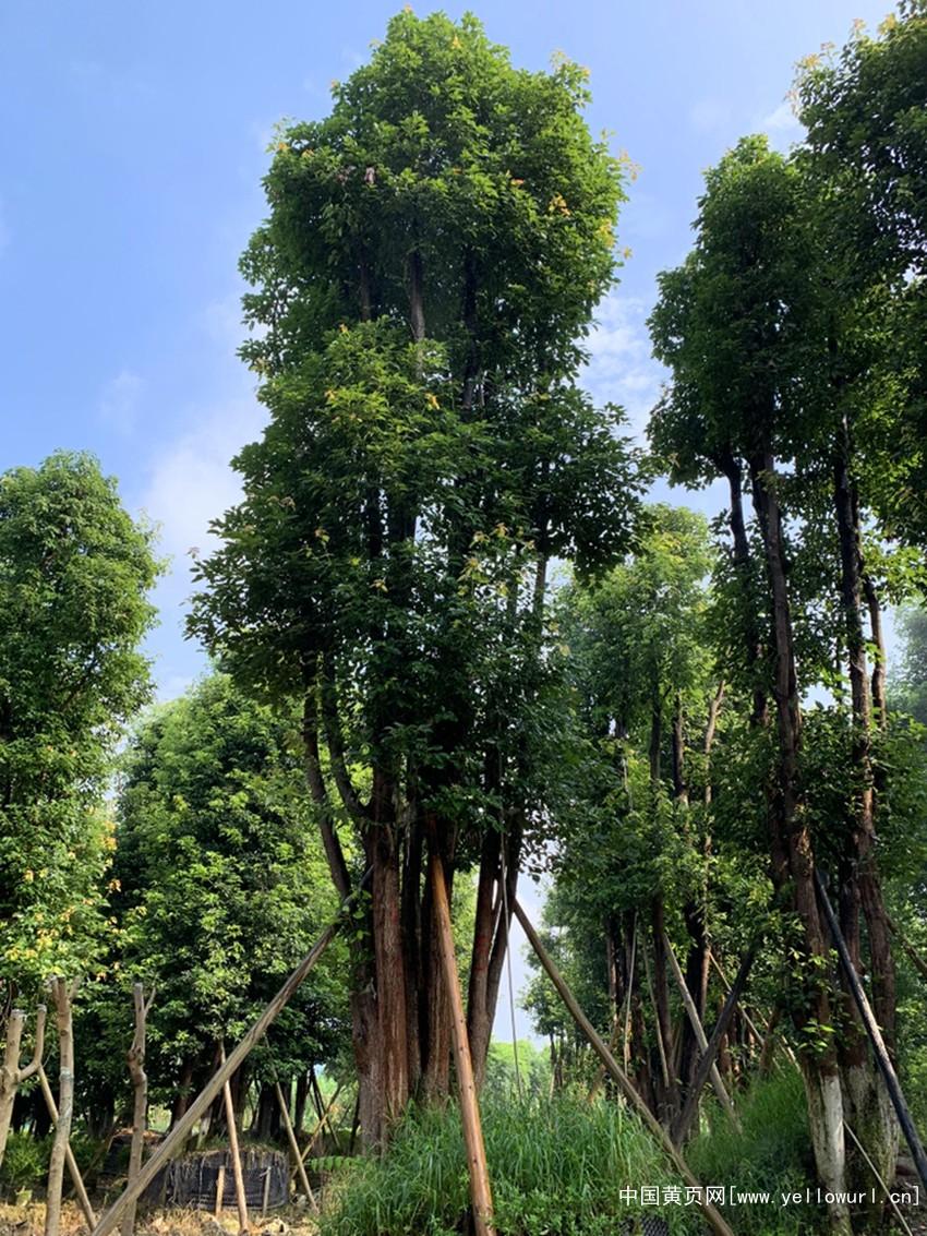 四川丛生香樟